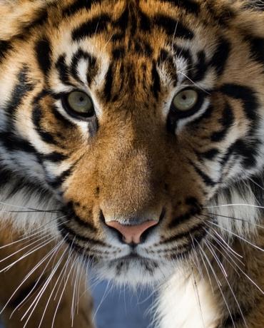 Save Wild Tigers   Save Wild Tigers