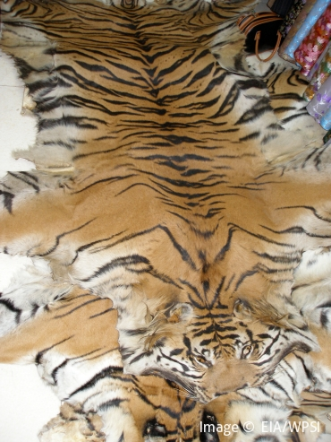 Tiger skins offered to EIA Investigators