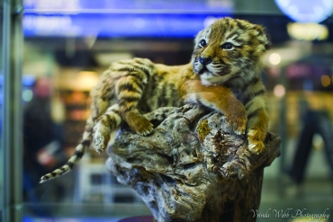 Taxidermy Tiger Cub MET Police London
