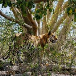 Roger Hooper - Bengal Tiger
