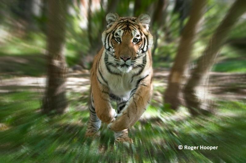 Tiger News   Save Wild Tigers